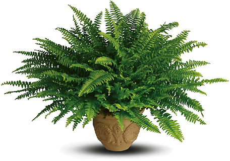Heartwarming Thoughts Boston Fern