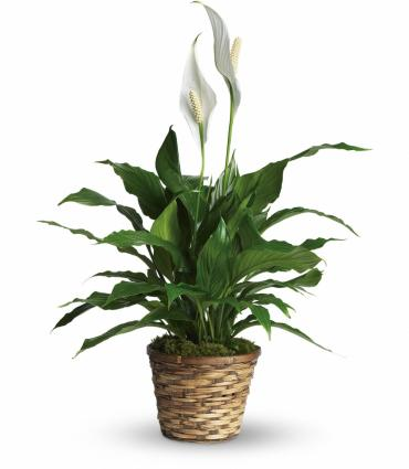 Peace Lily 8""