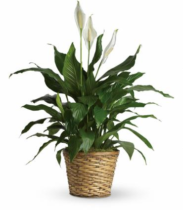 Sympathy Peace Lily 10""