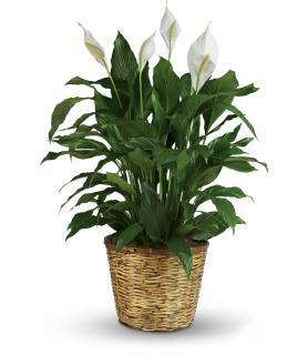 Peace Lily 12""